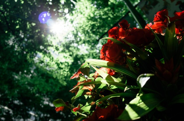 Red flowers 2015/05/12 GR140479