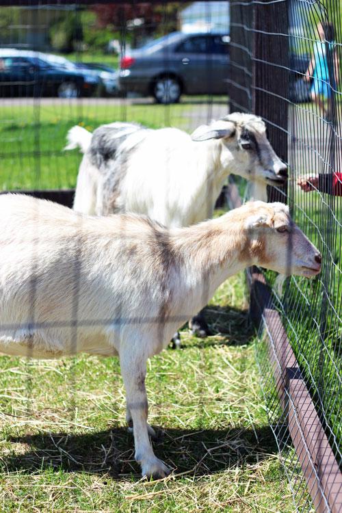 15_vergers-lafrance-animaux-ferme-chevre