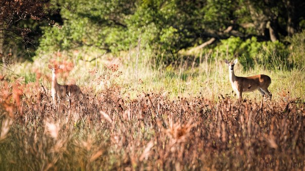 Two wary deer