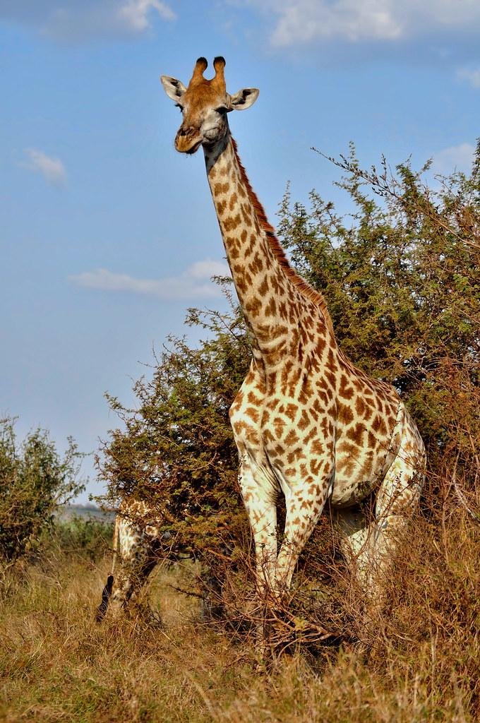 Giraffe Standing Giraffe Standing Steve Slater Flickr