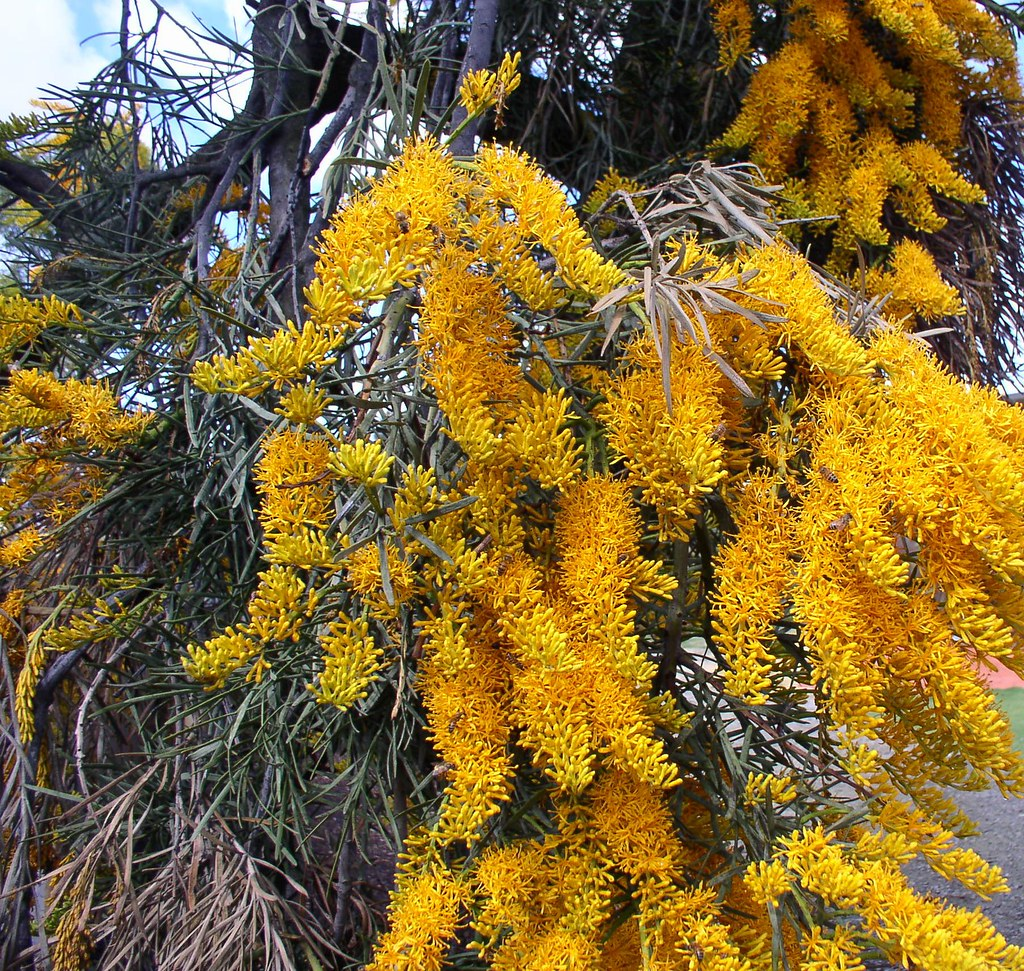 Western Australian Christmas Tree Nuytsia Floribunda Flow