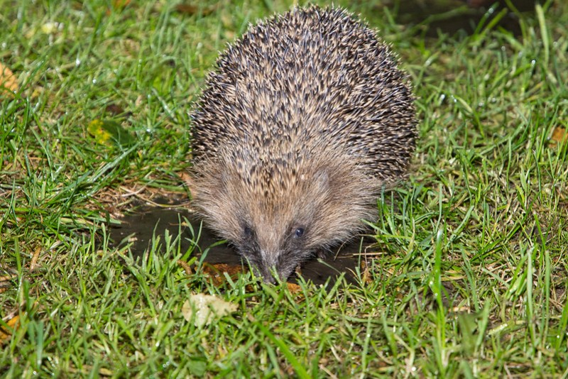Hedgehog feeding on mealworms