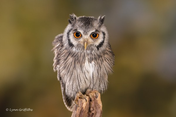 Southern White-faced Owl D75_5752.jpg | The southern white ...