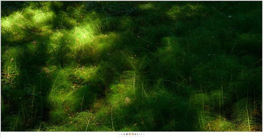 Een veld van Heermoes (Equisetum arvense) waar het zonlicht tikkertje speelt met de schaduwen