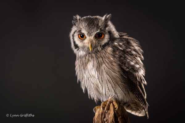 Southern White-faced Owl D75_5739.jpg | The southern white ...