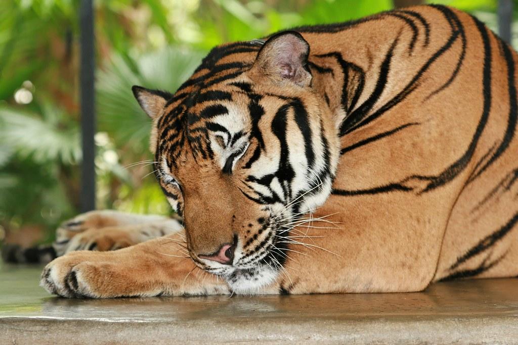 Imagen gratis de un tigre de Bengala