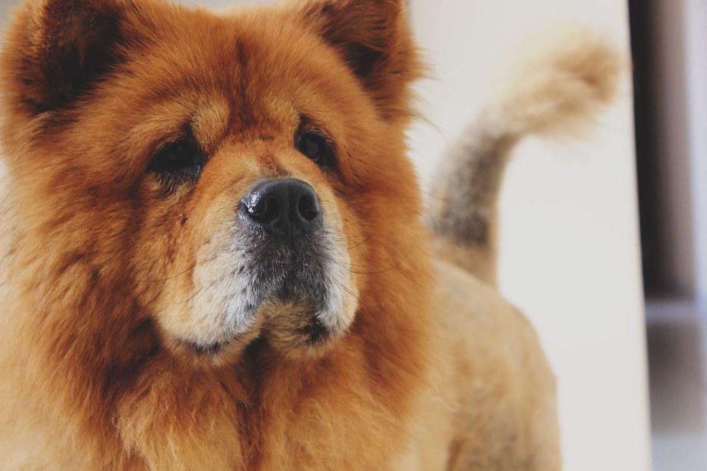 Imagen gratis de un perro Chow Chow