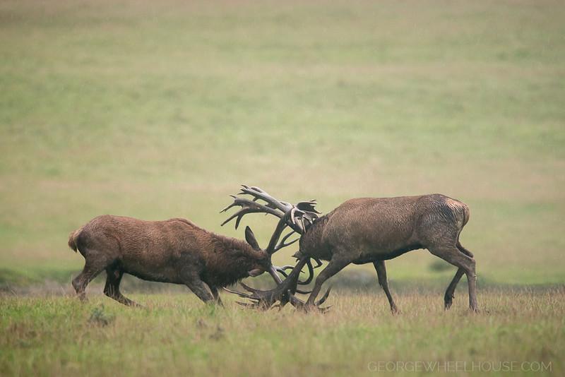 Red Deer With Antlers Locked