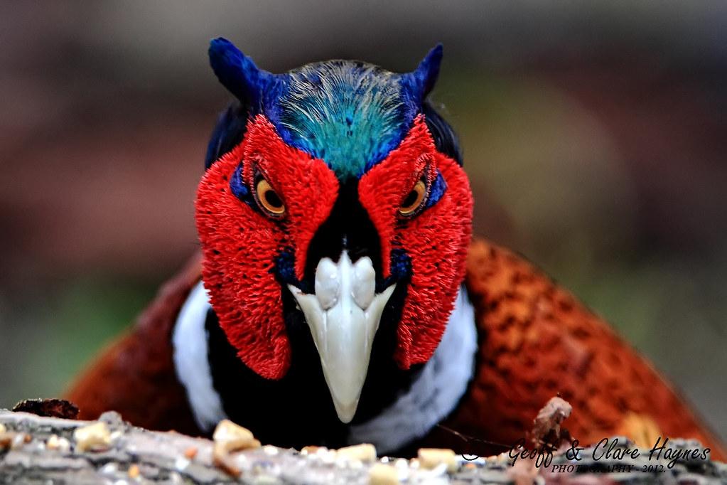 Pheasant Head Male Geoff Haynes Flickr