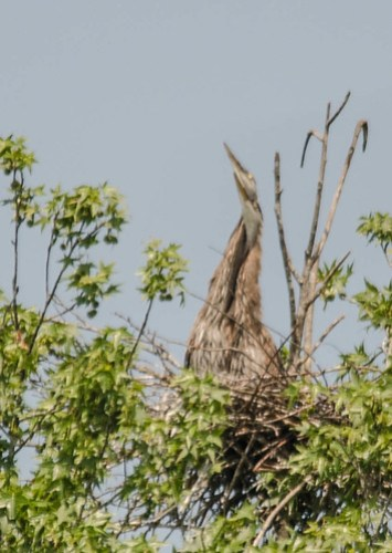 Lake Connestee Heron Rookery-018