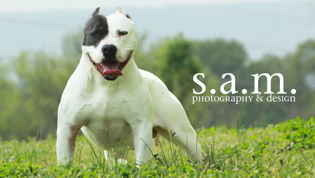 8747284919 3bedf21792 b Photos Of Pitbull Dogs