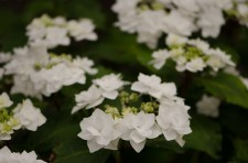 white lacecap hydrangeas