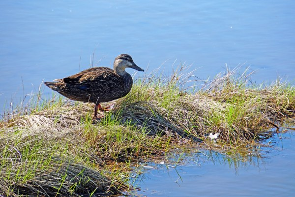 NS-00624 - Donald Duck!   PLEASE, NO invitations or self ...