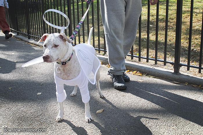 10502141574 ecab41e0b9 b Pitbull Dog White