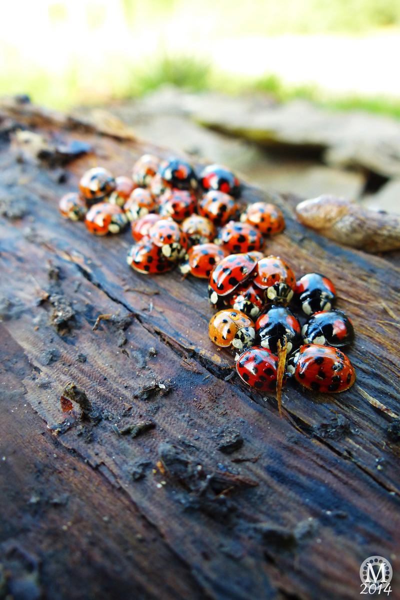 Ladybirds