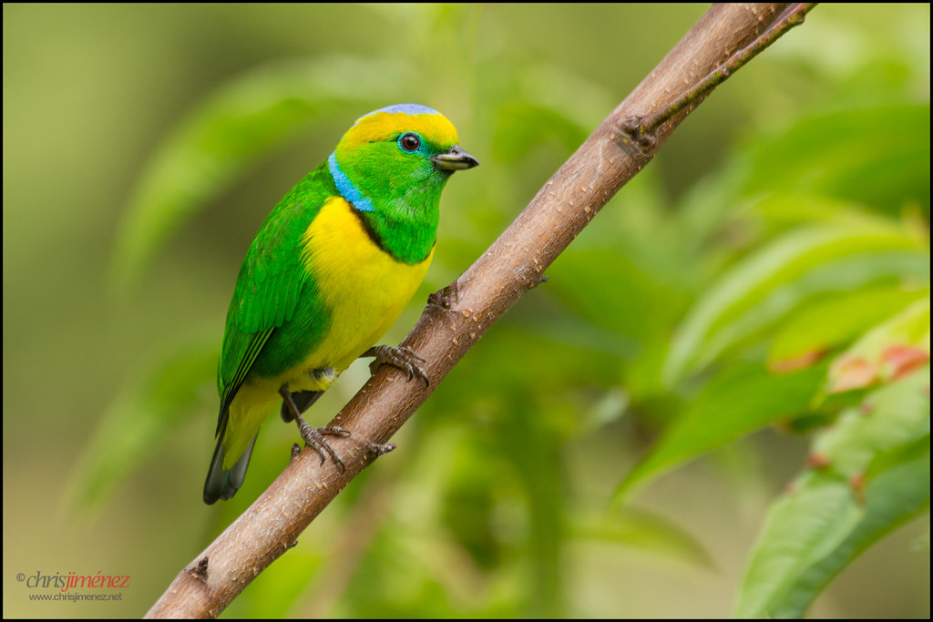 Golden Browed Chlorophonia Chlorophonia Callophrys Perch