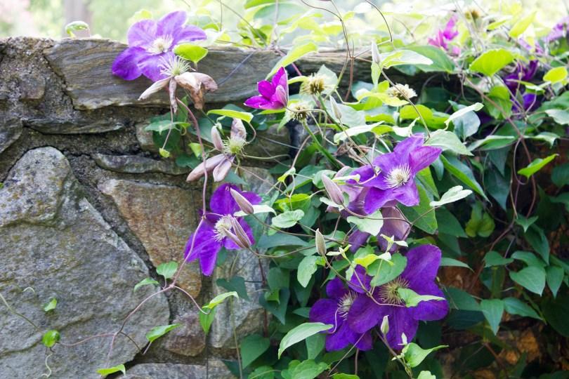longwood-gardens-june-2016-purple-flowers