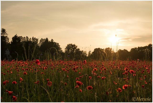 een veld klaprozen in Eindhoven