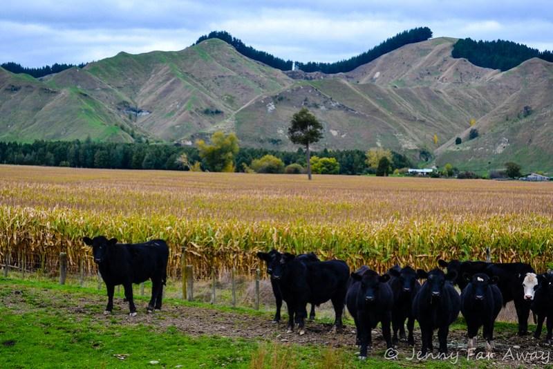 Wanganui cows