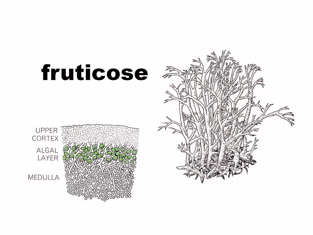 Fruticose Diagram