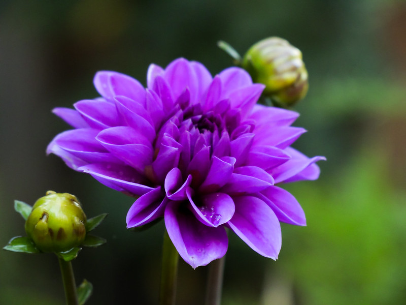 Purple Dahlia Pinnata