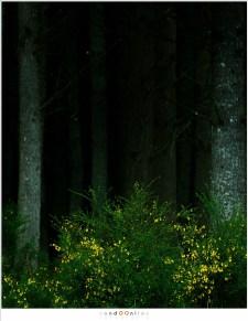 Bloeiende brem voor een dicht, donker naaldbos