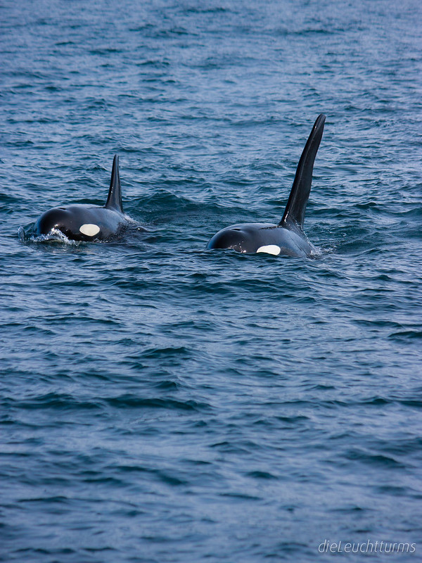 Orcas in Resurrection Bay
