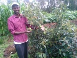 Improved avocado fruit tree managed by Alemu in Lemo site (photo credit: ILRI/Z.Lema)