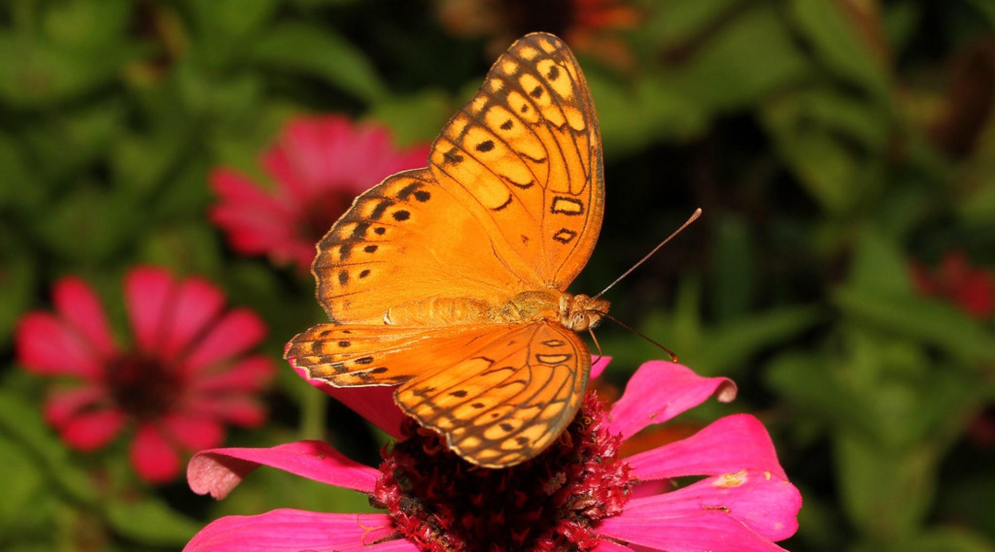 Euptoieta claudia (Variegated Fritillary - Costa Rica