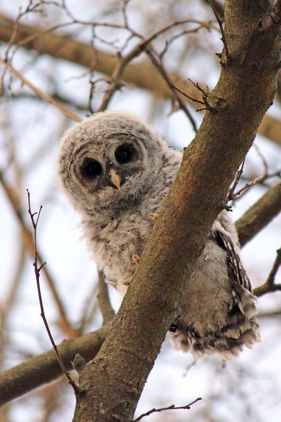 Kevin Tempelman photograph of winter coated owl