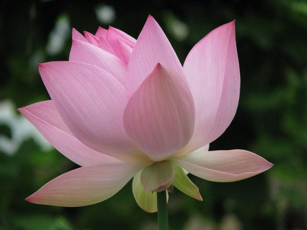 Лотос: совершенно красивый цветок