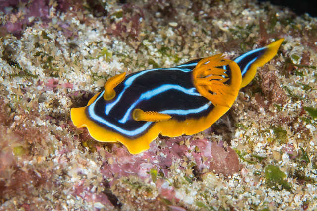 Kuiter's nudibranch (Chromodoris kuiteri)