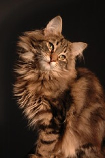3 Ancient Cat Breeds with a Story - Bjorn being cute