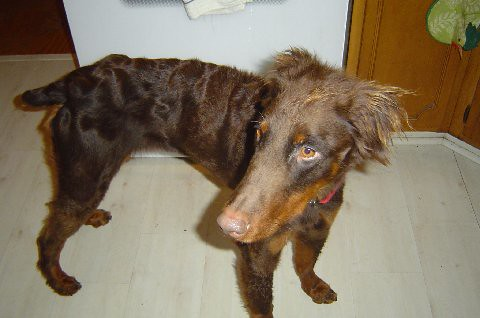 Coated Doberman Pinscher Wooly Daisy RedRust Flickr