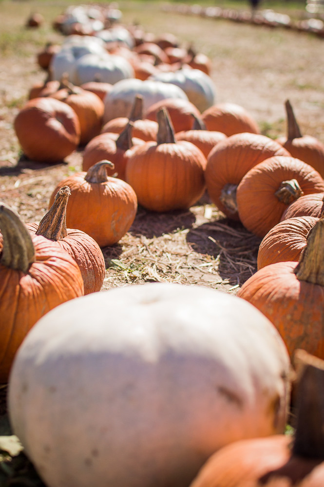 Pumpkin Picking at Preston Trail Farms, Gunter, Texas