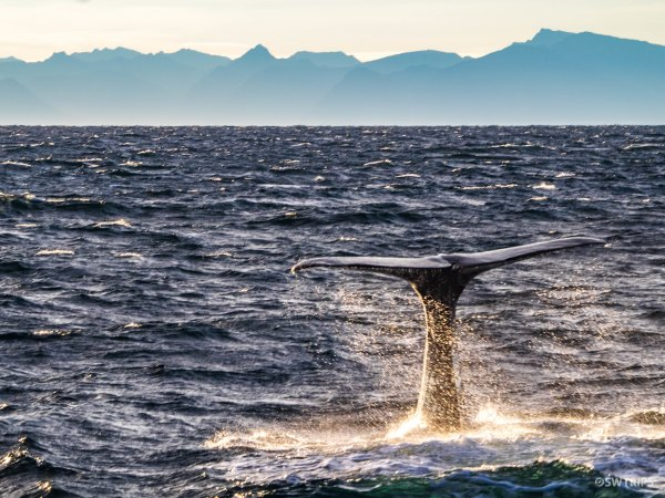 Sperm Whale - Andenes, Norway.jpg