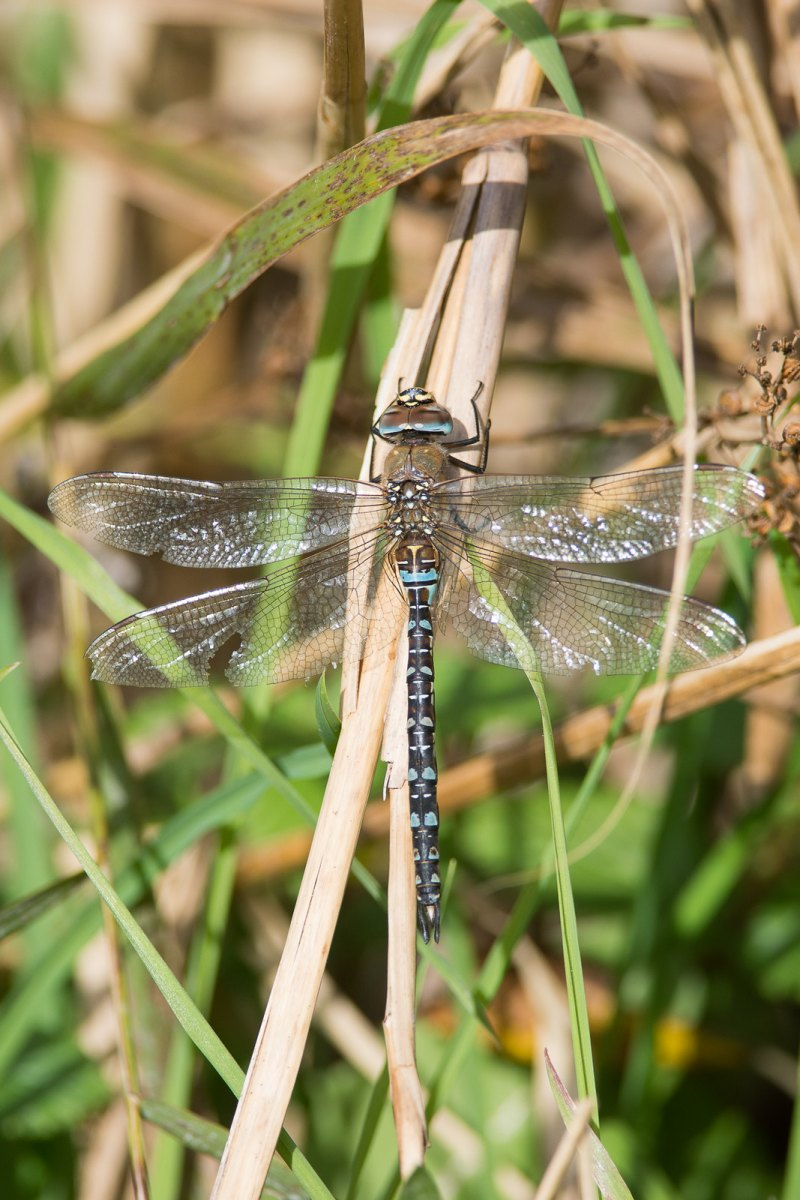 Migrant Hawker enjoying the late Autumn sunshine