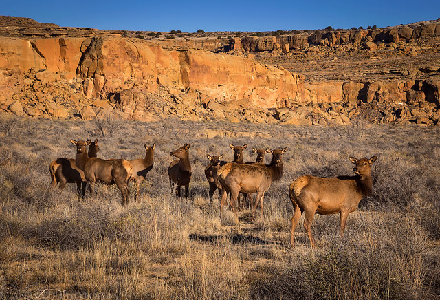Chaco Canyon Elk