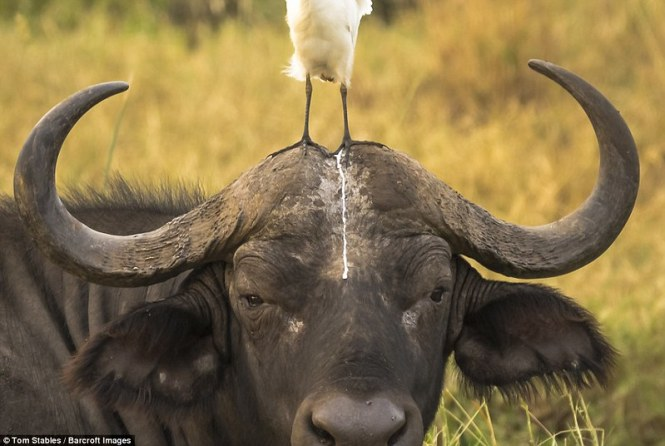 3A3A571300000578-3929134-A_bird_leaves_droppings_on_the_head_of_an_unlucky_buffalo_in_thi-a-106_1478910999753