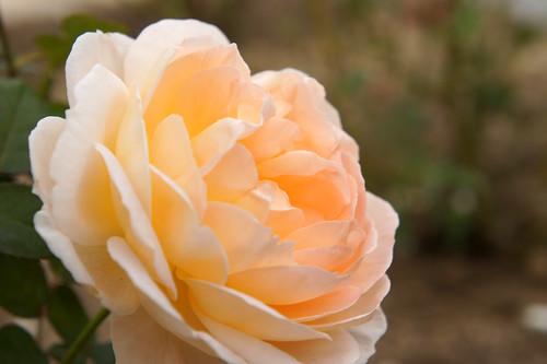 Rose Tamora バラ タモラ