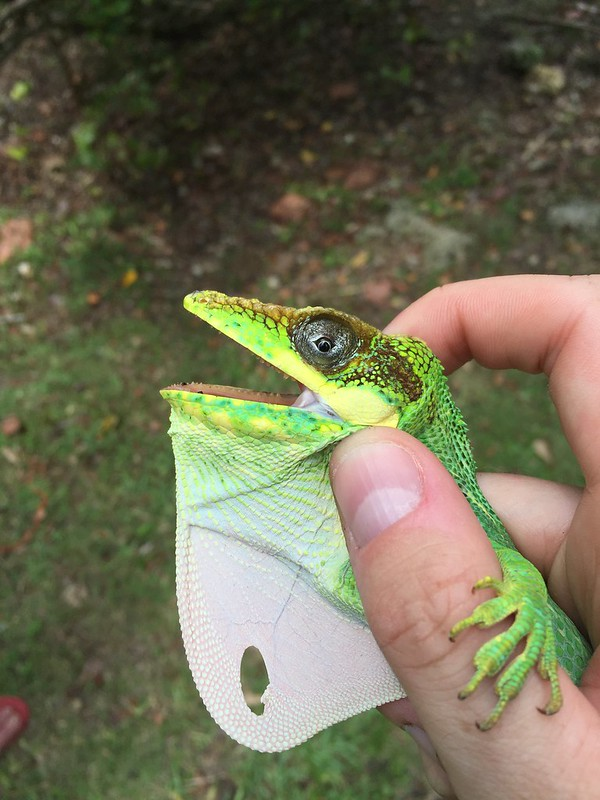 cuban knight anole a equestris with a hole in its dewlap anole