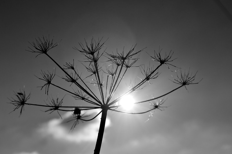 Black and White: wishing for seeds