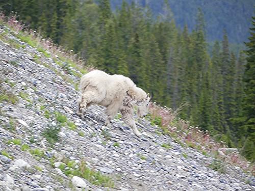 Banff and Jasper National Park: Wildlife