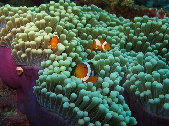 Clownfish at Sabolan Kecil Island