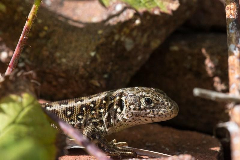 Female Sand Lizard at Higher Hyde Heath