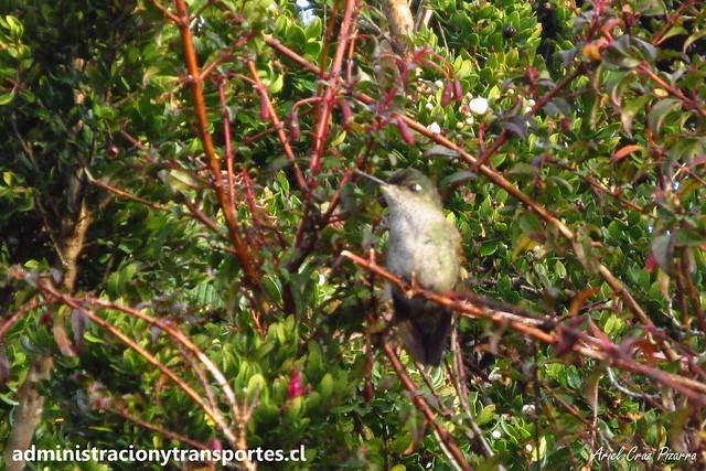 Picaflor (Sephanoides sephaniodes) | Parque Nacional Chiloé