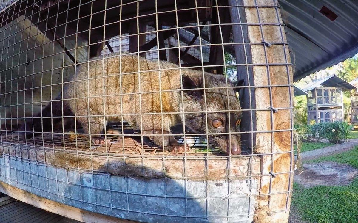 Civet at Mt. Apo Highland Resort