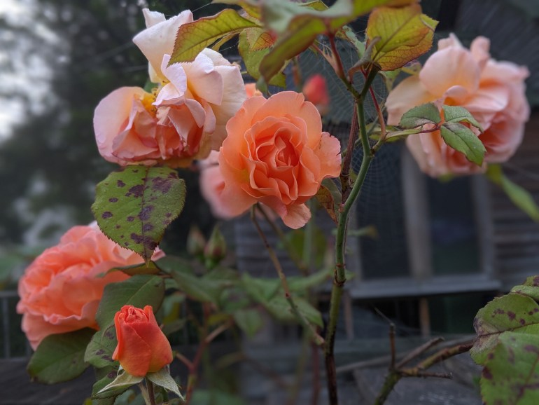Roses, dew, and a spider's web