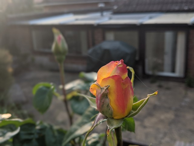 Young, early season rose bud in late evening light