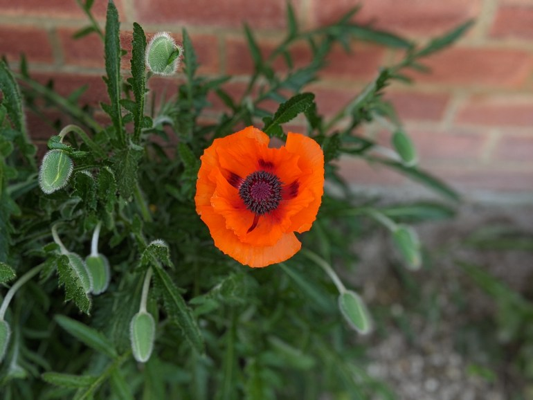 Bright orange oriental poppy from the front flowerbed